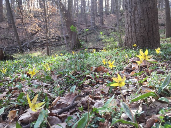 Trout lilies (a spring wildflower)